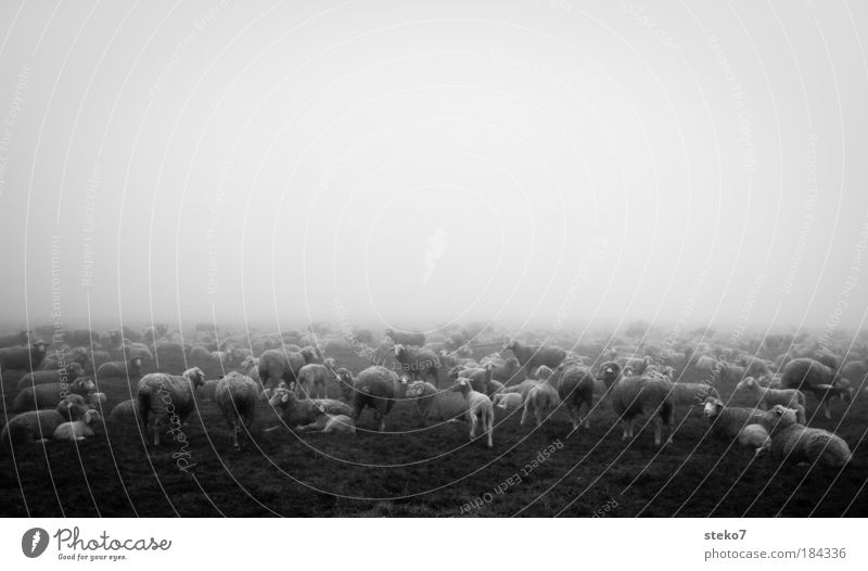 cloud sheep Black & white photo Landscape Fog Farm animal Herd Far-off places Cold Together Calm Nature Sheep Lamb Morning fog Flock