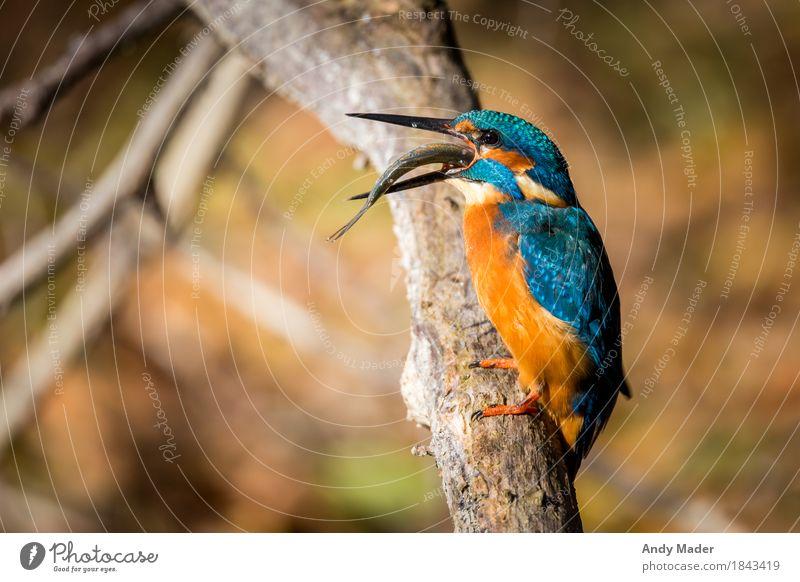 The Kingfisher ( Kingfisher ) Nature Animal Wild animal Bird Fish 2 Observe Glittering Beautiful Blue Orange common portrait beak water river branch fishing