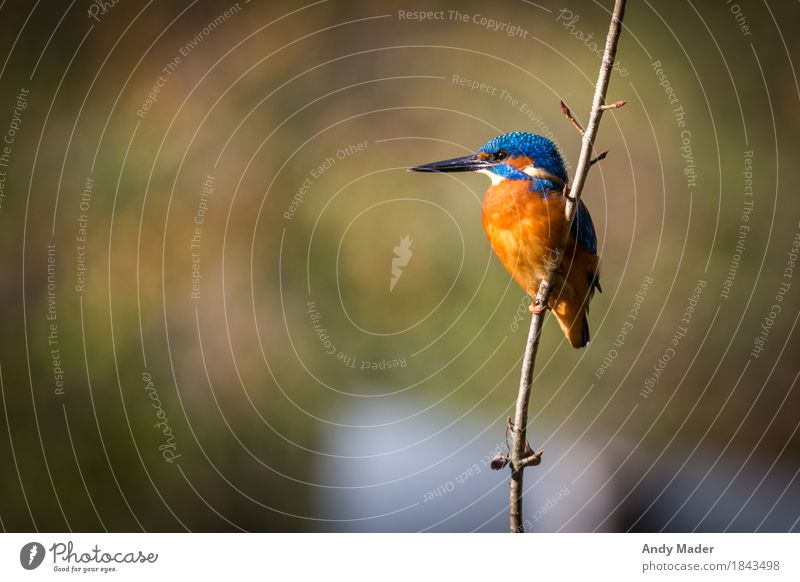 Nature Blue Animal Background picture Bird Orange Glittering Wild animal Esthetic Exotic Single Kingfisher