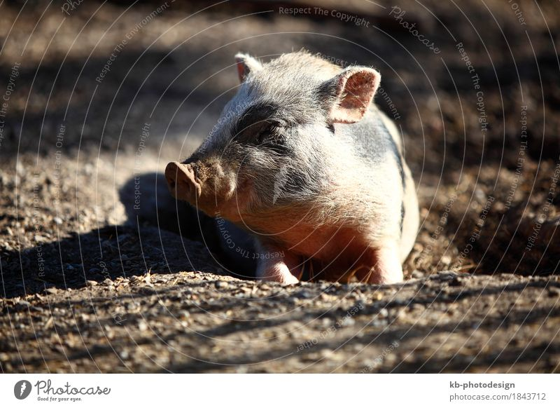 Bentheim pig in a park Beverage Swine 1 Animal Lie bacon at home boar breed breeders bristles country pig dirt domestication eat farm animal fat fat percentage