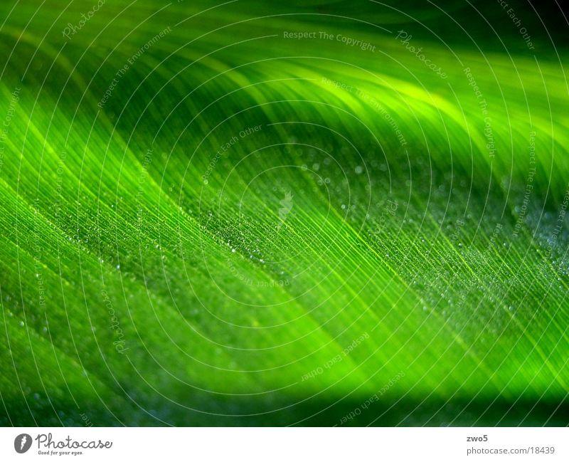 Green Plant Drops of water Dew Banana