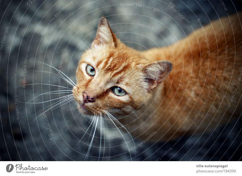 Blue Animal Cat Wait Natural Wild Authentic Animal face Curiosity Observe Animal portrait Pet Original Upward