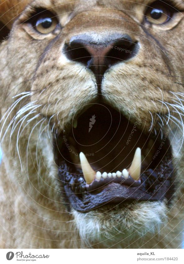 Maggie's hungry. Animal Lion Hunting Fear Set of teeth Fang Cat Lioness King Muzzle Brave Wild animal Eyes Whisker Purr Big cat Land-based carnivore Safari