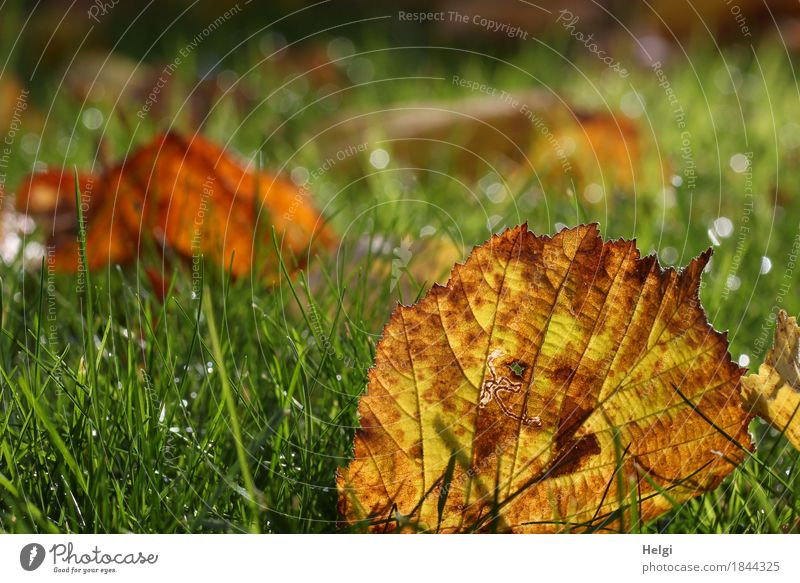 autumnal Environment Nature Plant Drops of water Autumn Grass Leaf Garden Glittering Illuminate Lie To dry up Authentic Small Wet Natural Brown Yellow Green