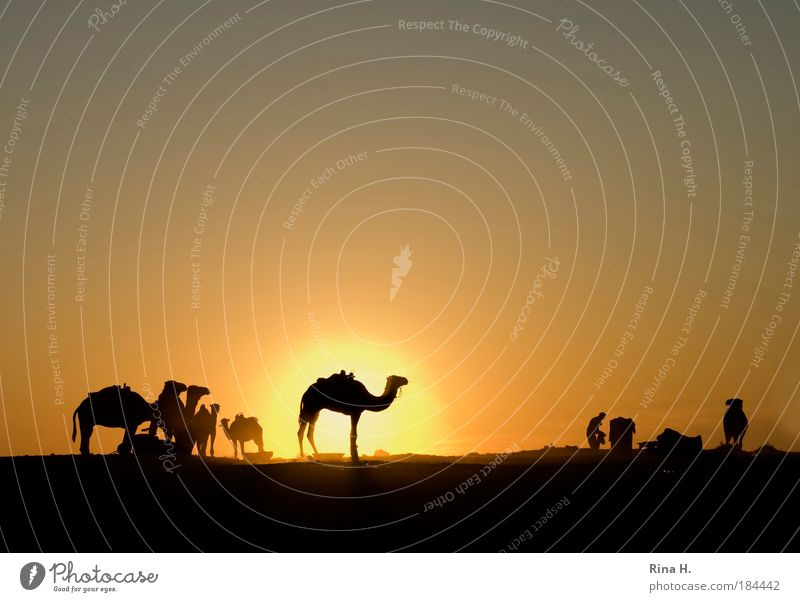 sunset kitsch Vacation & Travel Tourism Adventure Far-off places Man Adults Nature Cloudless sky Sunrise Sunset Warmth Desert Oasis Dromedary Camel