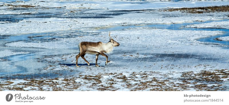 Vacation & Travel Animal Far-off places Tourism Wild animal Adventure Iceland Reindeer