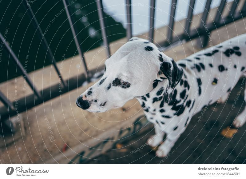 Dalmatians. Animal Pet Dog 1 Observe Stand Wait Esthetic Athletic Friendliness Town Self-confident Cool (slang) Safety Loyal Love of animals Peaceful
