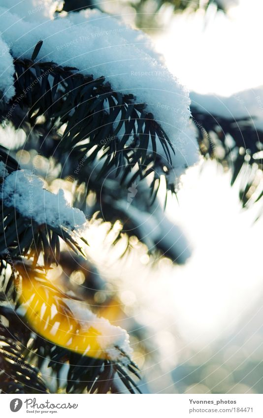 Nature Beautiful White Sun Winter Cold Yellow Snow Bright Ice Beautiful weather To go for a walk Frost Frozen Christmas tree Fir tree