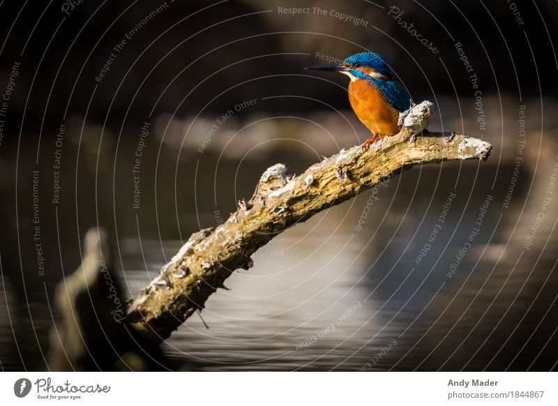 Nature Blue Water Animal Background picture Bird Orange Illuminate Glittering Wild animal River bank Crouch