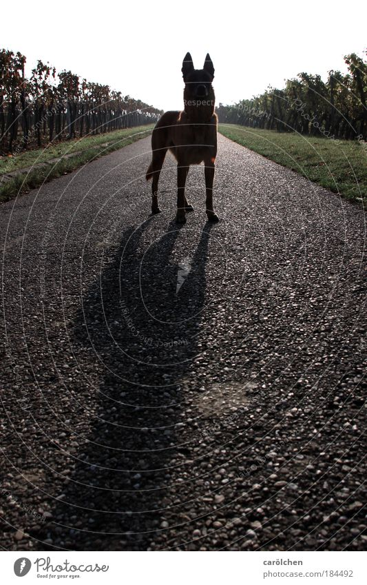 Nature Green Black Animal Gray Dog Lanes & trails Wait Stand Watchfulness Pet Symmetry Vineyard Shadow Building line