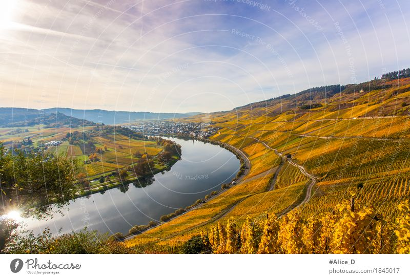 Moselle Wine Landscape in Bright Autumn Colours Vacation & Travel Environment Nature Elements Sunlight Agricultural crop Vineyard Hill River bank Wine growing