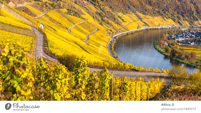 Golden Moselle Wine Landscape Environment Nature Elements Sunlight Autumn Vineyard Wine growing Hill River bank Weinland Wolf Rhineland-Palatinate Europe