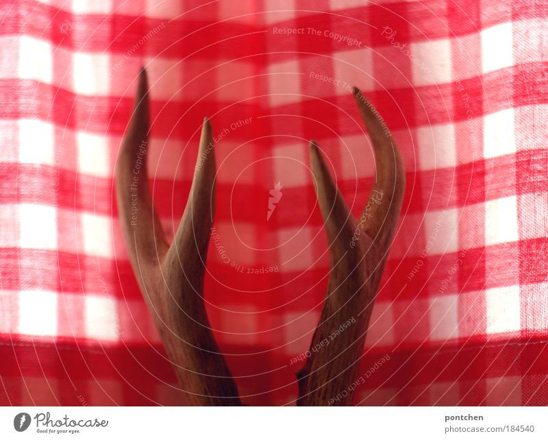 Deer antlers in front of red and white checked curtains. Bavarian bourgeois, traditional. Hunters, animal welfare, die, shoot. Trophy. Hunting