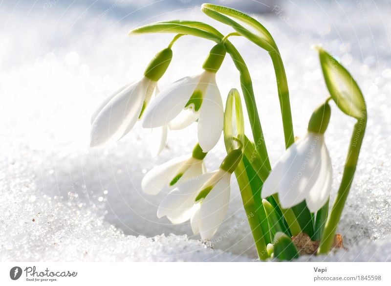 Spring snowdrop flowers with snow Life Winter Snow Garden Group Environment Nature Landscape Plant Beautiful weather Flower Grass Leaf Blossom Wild plant Park