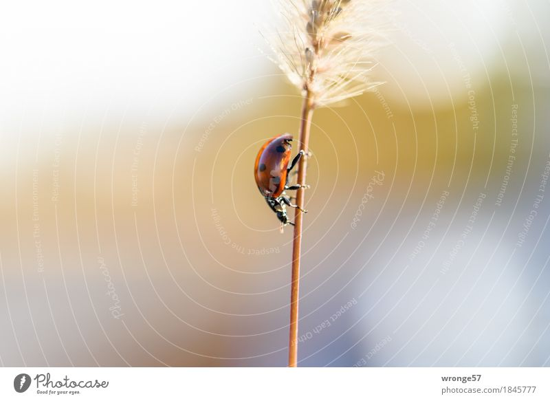 Plant Blue Red Animal Black Autumn Grass Small Gray Brown Wild animal Blade of grass Downward Beetle Crawl Ladybird