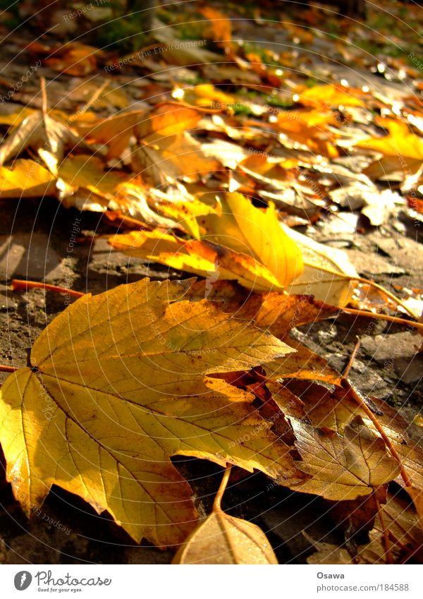 Sun Leaf Yellow Autumn Orange Gold Transience Macro (Extreme close-up) Seasons Vessel Autumn leaves October Portrait format Indian Summer