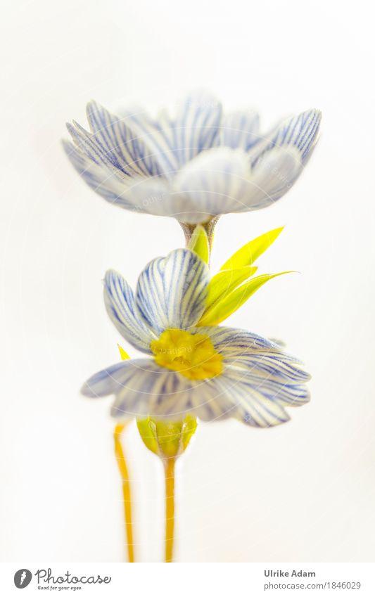 Blue - White striped primroses - on edge Design Interior design Decoration Image Card Poster Easter Nature Plant Spring Flower Leaf Blossom Pot plant Primrose