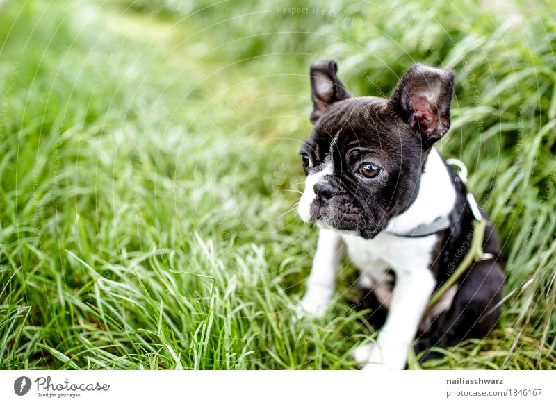 Boston Terrier Puppy Summer Environment Nature Spring Beautiful weather Grass Garden Park Meadow Field Animal Pet Dog French Bulldog 1 Baby animal Observe