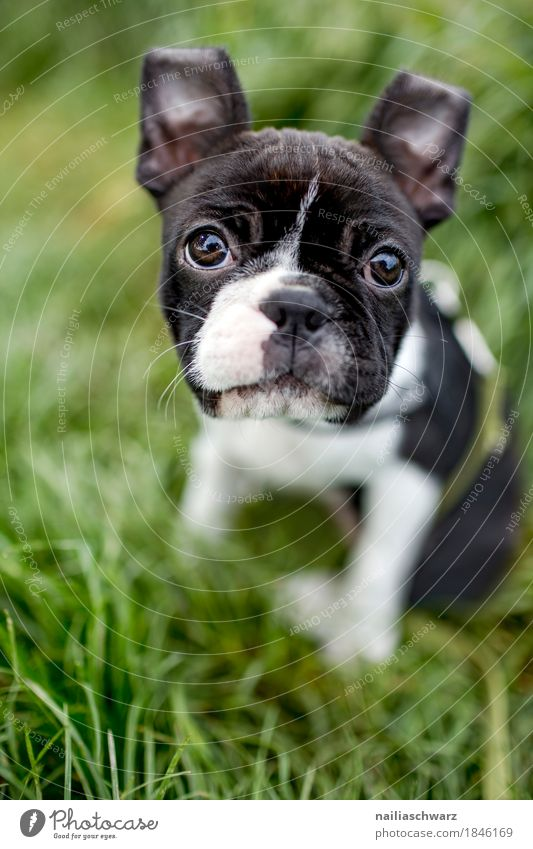 Boston Terrier Puppy Summer Environment Nature Grass Garden Park Meadow Animal Pet Dog boston terrier French Bulldog Baby animal Observe Discover Looking Sit