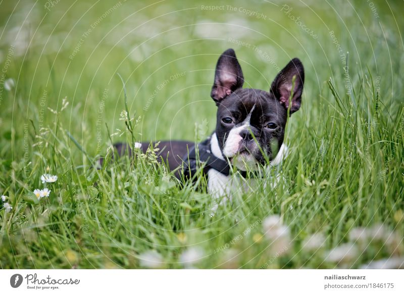 Dog Summer Animal Joy Baby animal Spring Meadow Natural Grass Happy Garden Park Field Lie Idyll Happiness