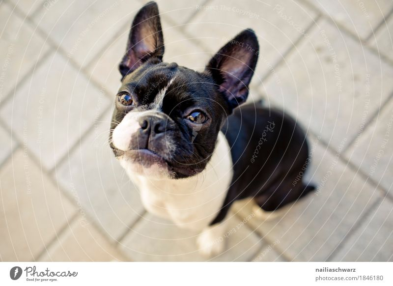Boston Terrier Joy Pet Dog Puppy French Bulldog 1 Animal Stone Observe Looking Sit Elegant Brash Friendliness Happiness Astute Funny Natural Curiosity Cute
