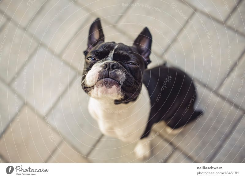 Boston Terrier Joy Animal Dog Animal face Bulldog French Bulldoge 1 Observe Looking Sit Brash Beautiful Astute Funny Curiosity Cute Speed Cool (slang) Surprise