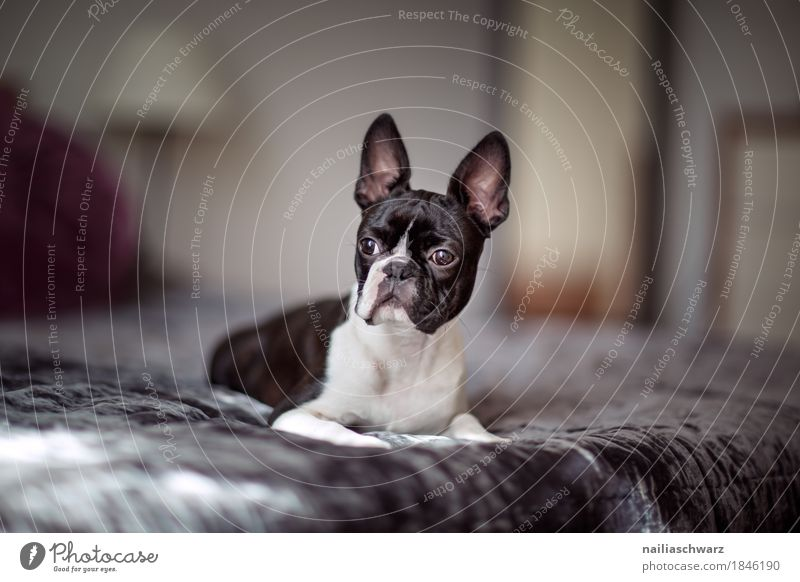 Boston Terrier Style Joy Animal Pet Dog French Bulldog boston terrier Bed Ceiling Observe Discover Relaxation To enjoy Looking Sleep Elegant Brash Happiness