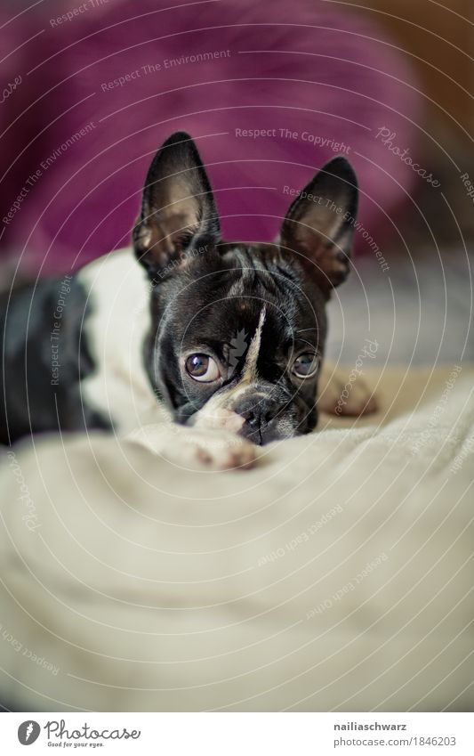 Dog White Relaxation Animal Joy Black Style Contentment Lie To enjoy Observe Cute Sleep Curiosity Violet Bed