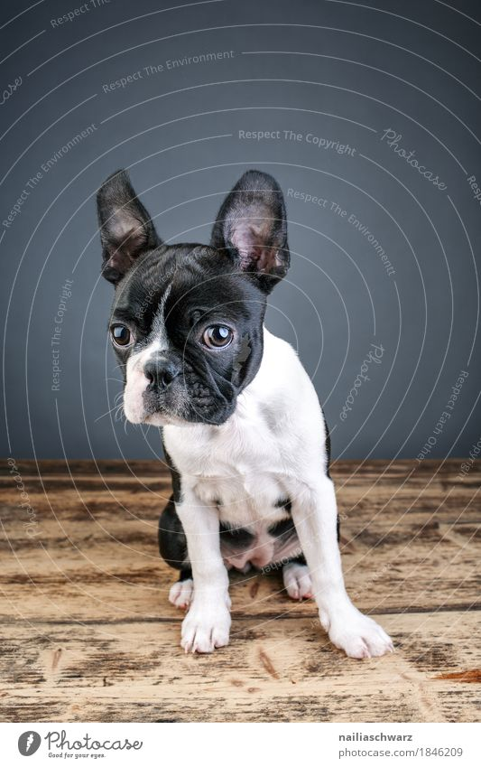 Boston Terrier Studio Portrait Style Joy Animal Pet Dog Animal face French Bulldoge 1 Wooden board Wooden table Observe Communicate Looking Cuddly Funny Natural