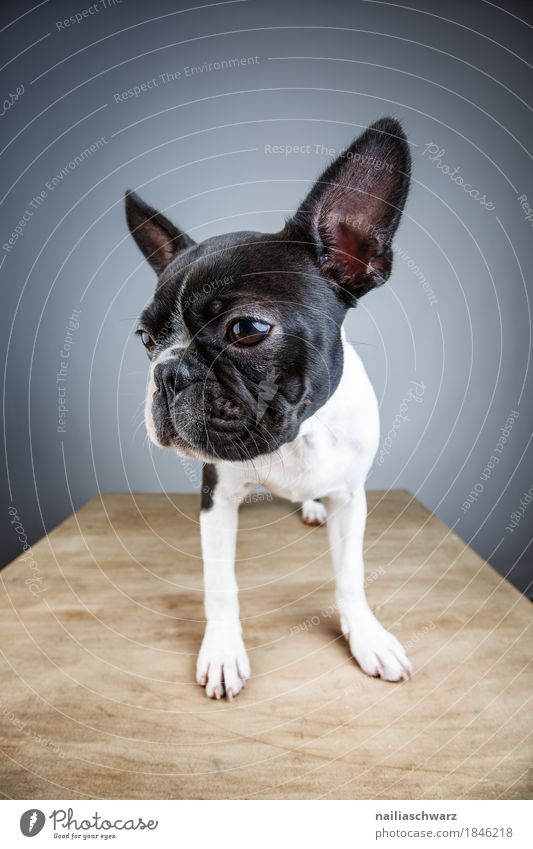 Boston Terrier Studio Portrait Style Joy Animal Pet Dog Animal face French Bulldog Puppy 1 Observe Looking Stand Wait Natural Curiosity Cute Beautiful Blue