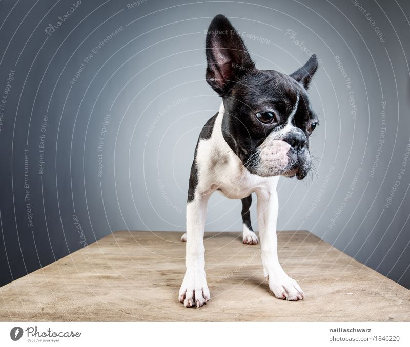 Dog White Loneliness Animal Joy Black Sadness Funny Natural Style Small Dream Stand Table Observe Cute