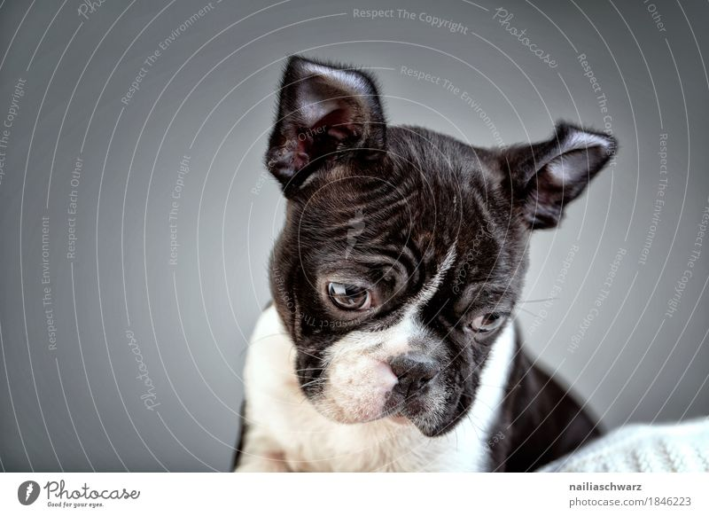 Boston Terrier Puppy Studio Portrait Joy Animal Pet Dog boston terrier French Bulldog 1 Observe Discover Communicate Looking Sit Cool (slang) Happiness Cuddly
