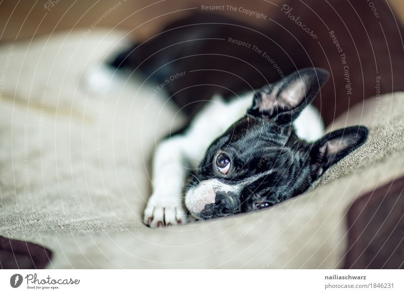 Dog Relaxation Animal Joy Baby animal Style Dream Lie Idyll Happiness Observe Cute Curiosity Bedclothes Serene Pet