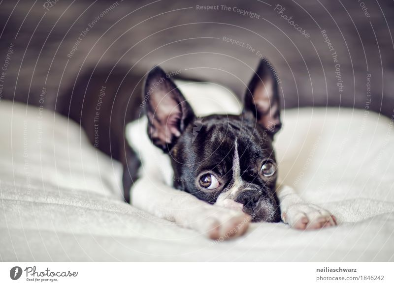 Boston Terrier Puppy Style Joy Animal Pet Dog Animal face 1 Bed Ceiling Observe Relaxation Lie Looking Sadness Friendliness Cuddly Natural Curiosity Cute Black