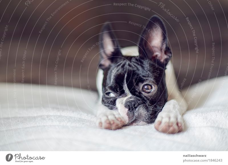 Boston Terrier Puppy Style Joy Animal Dog 1 Baby animal Blanket Bed Observe Relaxation Looking Sleep Brash Funny Natural Cute Positive Beautiful