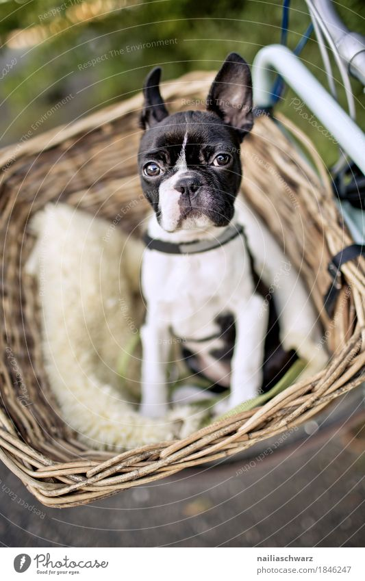 Boston Terrier puppy makes excursion Bicycle Animal Dog Puppy French Bulldog boston terrier 1 Baby animal Observe Discover Study Looking Brash Friendliness
