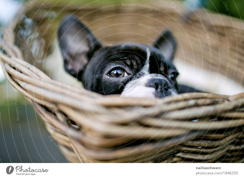 Dog Beautiful Relaxation Animal Funny Natural Small Happy Dream Contentment Lie Happiness Observe Cute Curiosity Safety