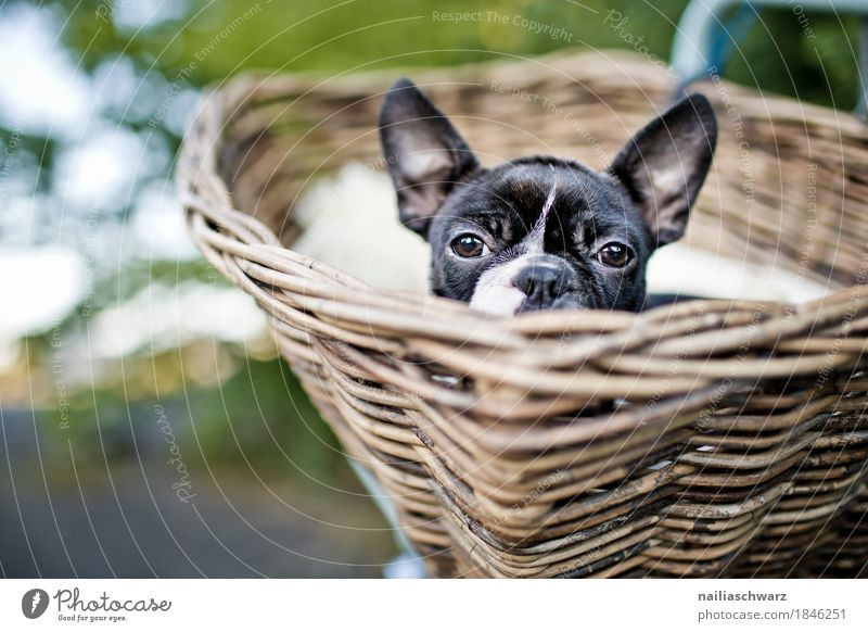 Boston Terrier, trip. Vacation & Travel Trip Cycling tour Summer Animal Dog 1 Basket bicycle basket Discover Looking Friendliness Happiness Funny Natural