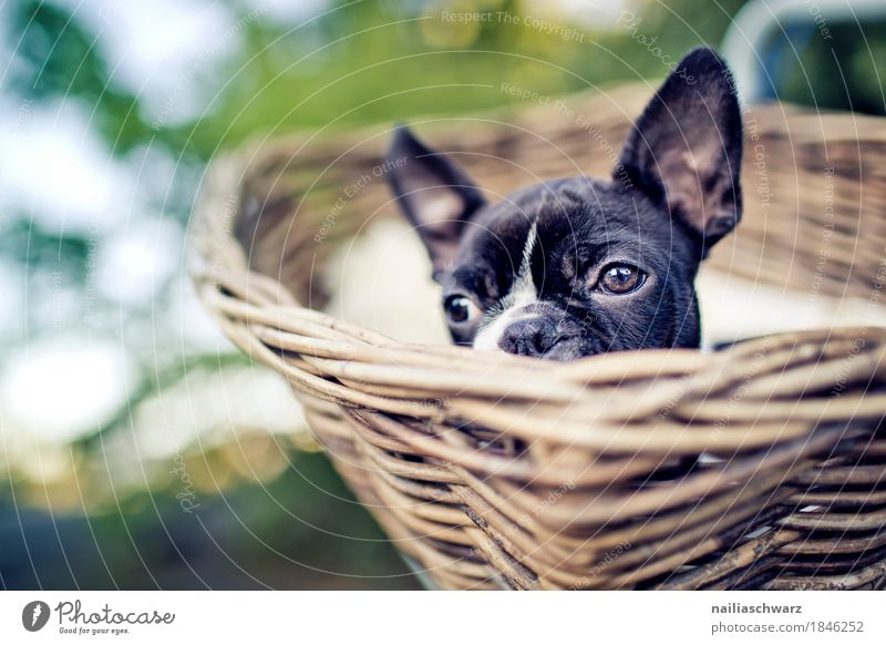 Boston Terrier puppy makes excursion Bicycle Animal Pet Dog French Bulldog Puppy 1 Basket Wood Observe Relaxation Looking Wait Friendliness Happiness Happy