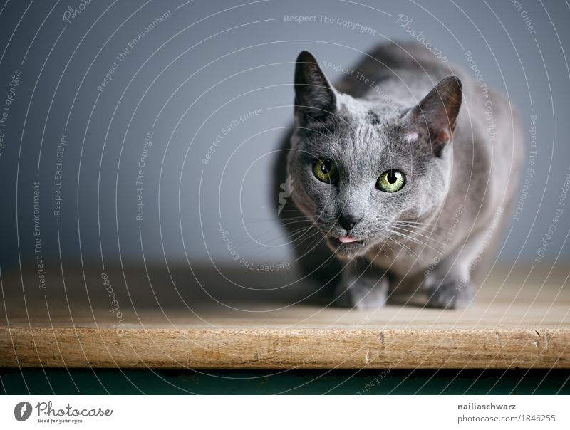 Russian Blue Cat Elegant Animal Pet Animal face 1 Table Wooden table Observe Relaxation Lie Looking Natural Curiosity Cute Beautiful Gray Contentment Love