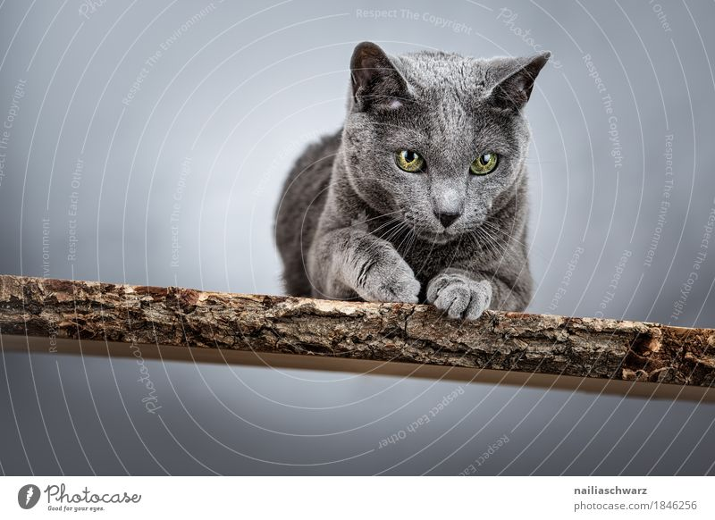 Russian Blue Cat Elegant Animal Animal face 1 Wood Wooden bench Observe Discover Lie Looking Authentic Cool (slang) Beautiful Astute Funny Natural Curiosity