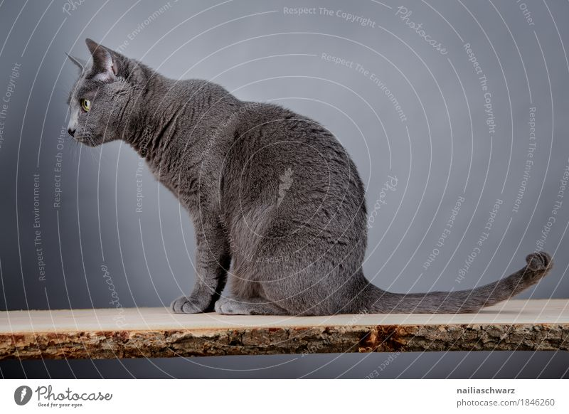 Cat Blue Colour Beautiful Animal Warmth Natural Gray Elegant Sit Table Observe Cute Soft Clean Hope