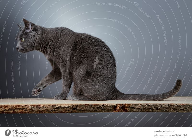 Russian Blue Cat Elegant Animal Pet 1 Esthetic russian blue silver grey housecat purebred slender portrait looking whole body Workshop Colour photo
