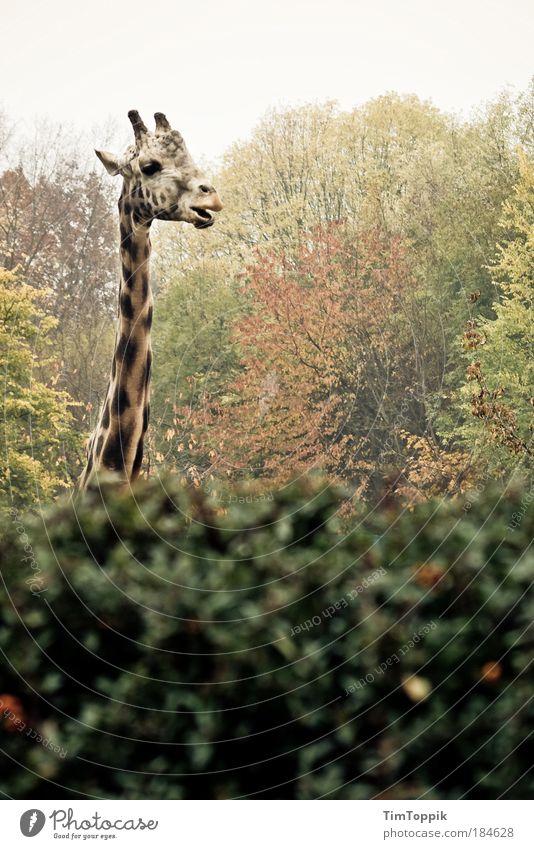 Common Hessian bush giraffe Exterior shot Environment Nature Landscape Plant Animal Autumn Park Forest Zoo Zoology Leaf Bushes Wild animal Animal face Pelt
