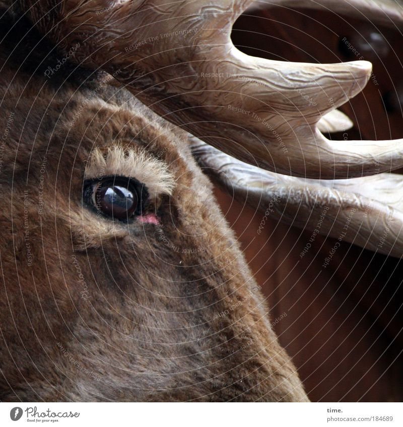 blue eyes Moose (Moose) Horn (antler) Eyes Pelt Cloth Looking Sadness Exterior shot Eyebrow imitation Replication Brown Glittering Animation Stalls and stands