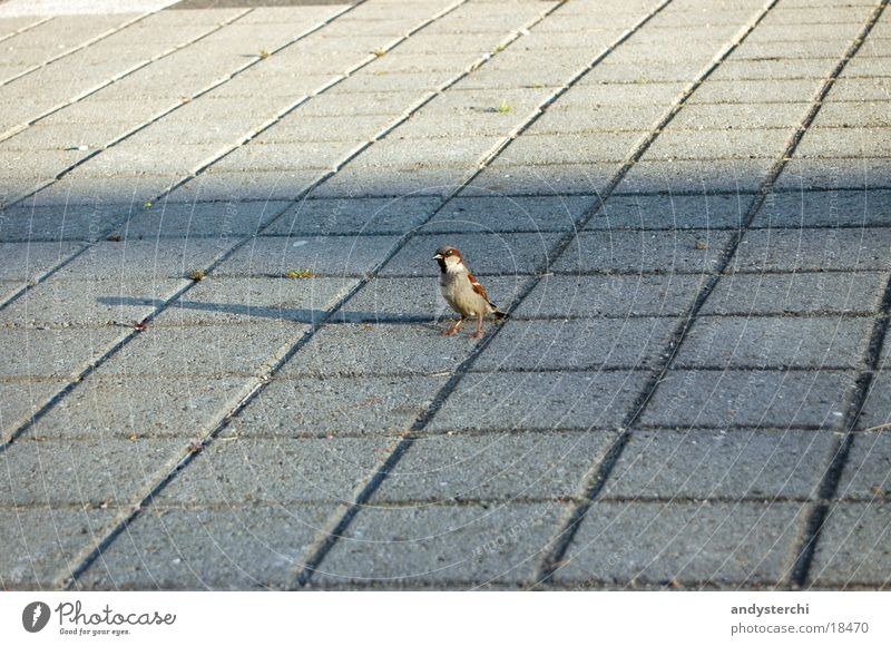 Animal Bird Walking Flying Transport Floor covering Wing Sparrow Paving tiles