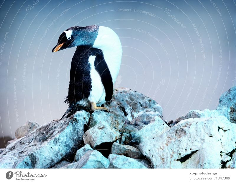 Penguin on a rock Zoo Animal Feeding animal park antarctica Arctic Bend birds blue dance dancing head iceberg polar stones wildlife Colour photo Interior shot