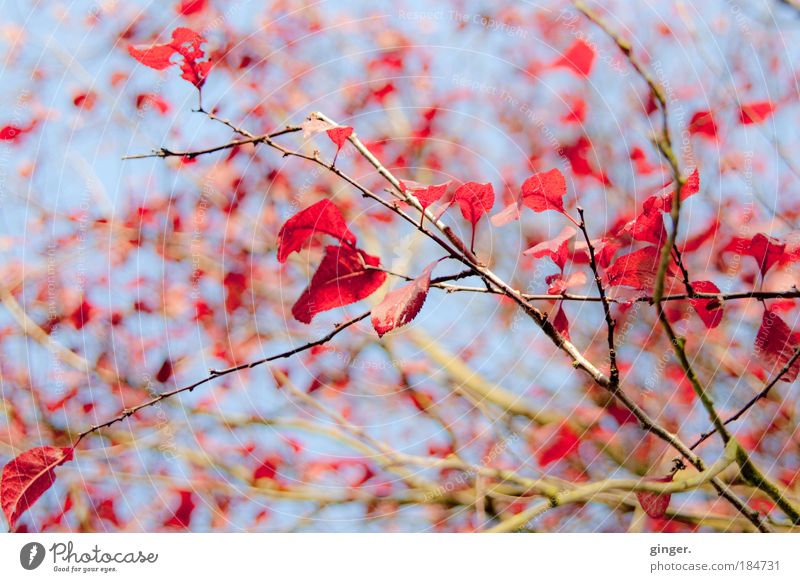 Sky Nature Blue Tree Red Leaf Autumn Above Bright Brown Bushes Beautiful weather To fall Seasons Autumn leaves Plant