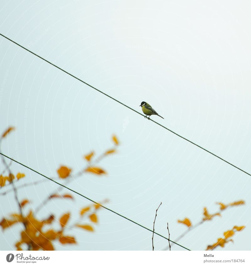 autumn tit Cable Electricity Environment Nature Animal Sky Autumn Leaf Bird Tit mouse 1 Line Crouch Sit Free Small Cute Gray Loneliness Freedom Branch