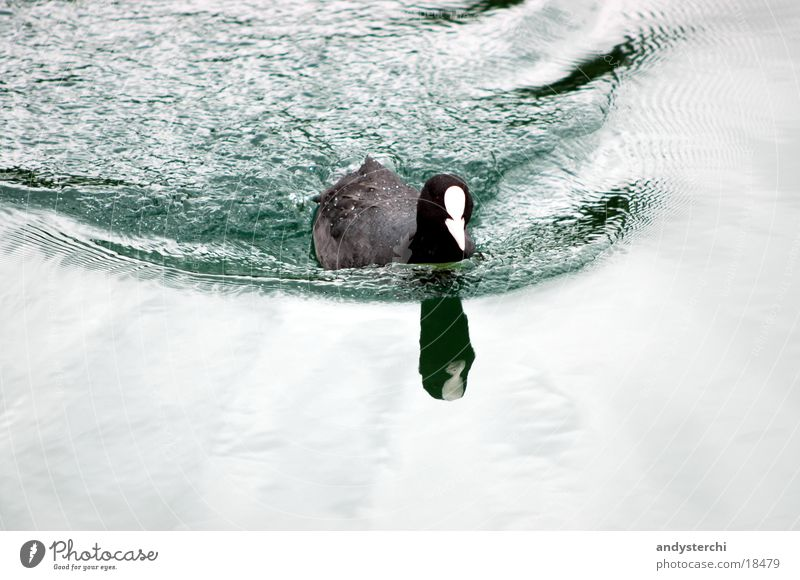 diver Lake Pond Cold Black Bird Waves Transport diverli Duck Water green mirrored Float in the water Swimming & Bathing